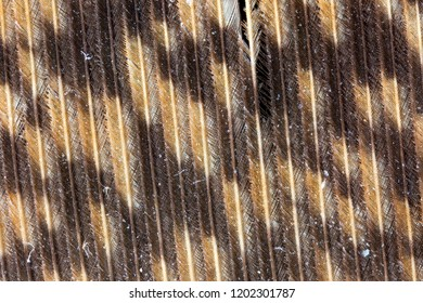 Magnified view of a Great Horned Owl (Bubo virginianus) feather - Ontario, Canada