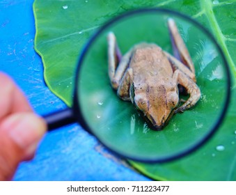Magnify glass look the Small Frog on a green leaf