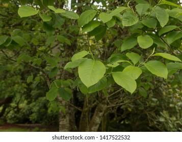 Cucumber Tree Images Stock Photos Vectors Shutterstock