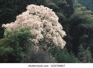 Magnolia and bamboo