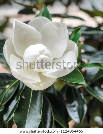 Magnolia Bloom Southern Flowers Southern Magnolia Stock Photo Edit