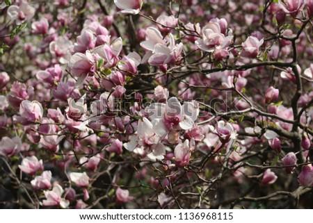 Magnolia Blossom Flowers Beautiful Nature Garden Stock Photo Edit