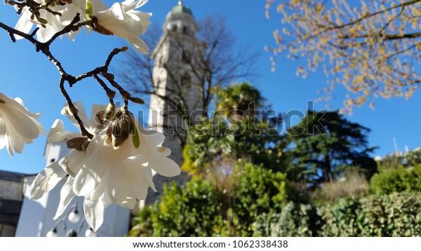 Magnolia blossom- Lugano