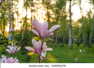 Magnolia blossoming in spring with sunlight. Toning effect