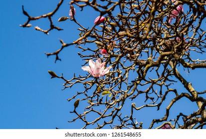 Magnolia blossoms against a blue shy