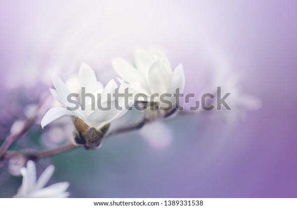 Magnolia branch with blooming white gentle flowers. Soft focus. Purple romantic background