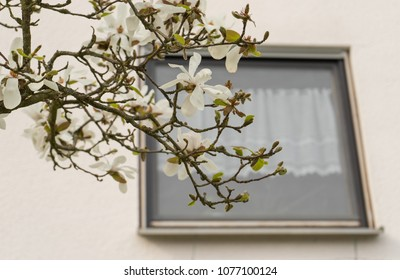 Magnolia branch with a curtained window at the background