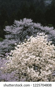Magnolia and cherry tree