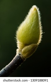 Magnolia flower bud covered with hair to protect from cold.