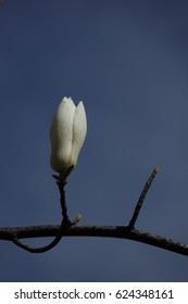 magnolia flower and buds against blue sky