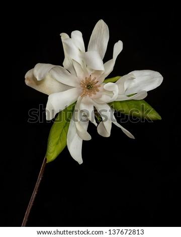 Magnolia Flower Closeup Against Black Background Stock Photo Edit