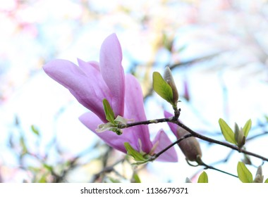 magnolia flower in the garden
