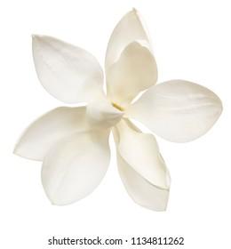 Magnolia flower, isolated on white background.