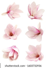 A magnolia flower isolated white background