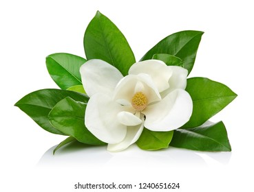 Magnolia flower with leaves isolated on white background
