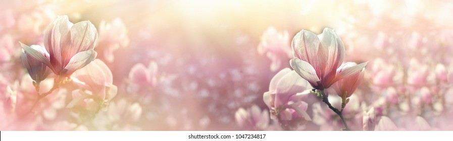 Magnolia flower lit by sunlight - beautiful flowering in spring