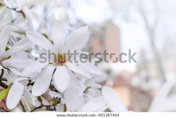 Magnolia flower on a background of a blossoming tree.