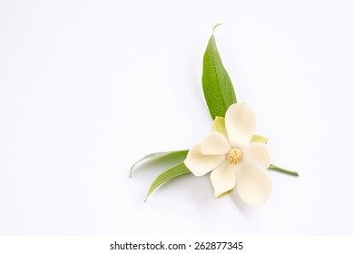 A magnolia flower on isolated background.