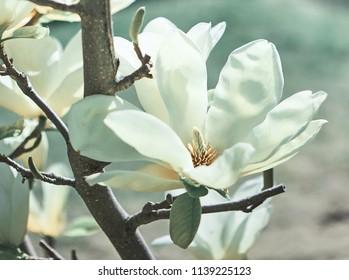 Magnolia Flower on Magnolia Tree.