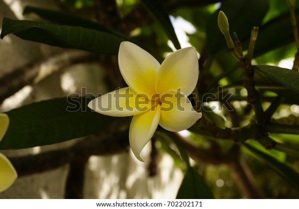Magnolia flower on the tree