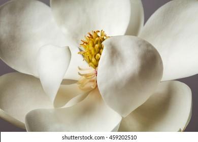Magnolia Flower White Magnolias Floral Flowers