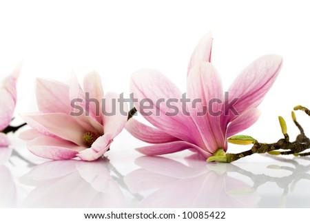 magnolia flowers stock photo edit now 10085422 shutterstock