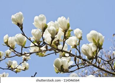 Magnolia flowers against blue sky background in Edinburgh Royal Botanical Garden