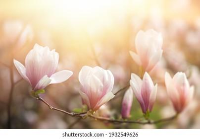 Magnolia blüht Hintergrund. Schöne Naturlandschaft mit blühenden Bäumen und Sonne. Sonnentag mit Frühlingsblumen