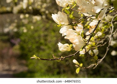 Magnolia flowers in full bloom in spring on the trees branches