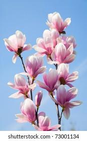 magnolia flowers on clear blue sky