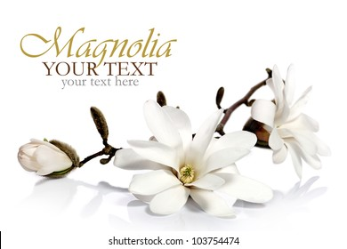 Magnolia flowers on white background