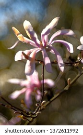 Magnolia flowers with soft soap bubble bokeh