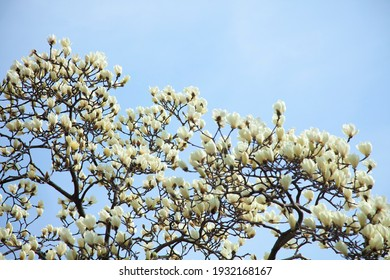 Magnolia flowers in the spring sky