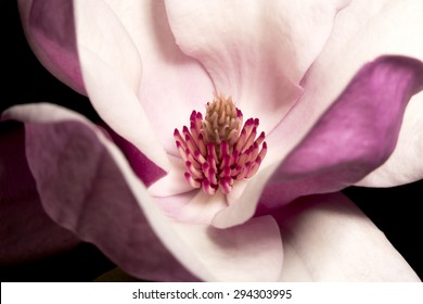 Magnolia of gardens on a black background