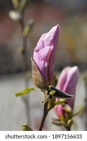 Magnolia George Henry Kern - Latin name - Magnolia George Henry Kern