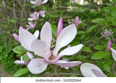 Magnolia 'George Henry Kern' (Magnolia x hybrida)