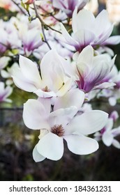 Magnolia. Image of blooming tree with pink and white  flowers.