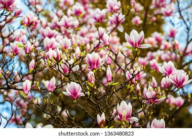 Magnolia Flower Large Images Stock Photos Vectors Shutterstock