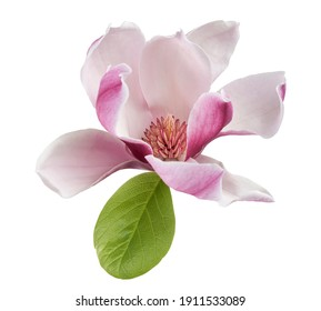 Magnolia liliiflora flower on branch with leaves, Lily magnolia flower isolated on white background with clipping path