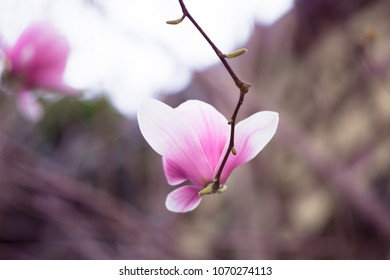 Magnolia pink blossom tree flowers, close up branch, outdoor. Fence on teh background