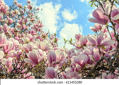 Magnolia pink blossom tree flowers, close up branch, outdoor.
