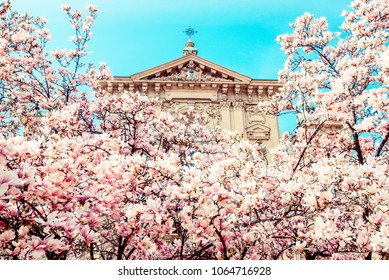 magnolia magnolia - pink magnolia blossoms and church in a urban parkMilan italy