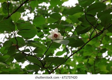 Magnolia Sieboldii Images Stock Photos Vectors Shutterstock