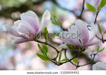 Magnolia Soulangeana Called Saucer Magnolia Flowering Stock Photo
