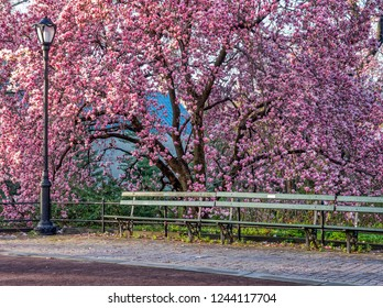 Magnolia soulangeana,saucer magnolia is a hybrid plant in the genus Magnolia and family Magnoliaceae