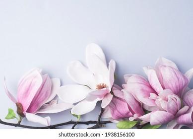 Magnolia springtime minimalistic still life. Beautiful pink magnolia flowers on the soft blue background, copy space. Wedding stationery mock-up scene
