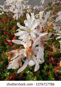 Magnolia Stellata or Royal star with big white flowers during springtime in a garden