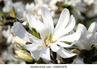 Magnolia Stellata a winter spring flowering shrub