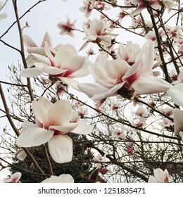 Magnolia tree in bloom, close up. Springtime