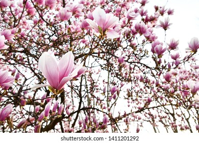 magnolia tree in bloom, photo as a background